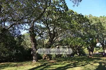 Carbayera de El Tragamón. Monumento Natural Carbayera de El Tragamón