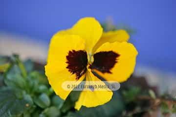 Pensamiento «Viola hortensis»