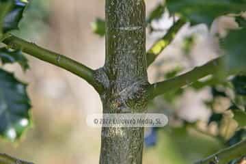 Acebo «Ilex aquifolium»
