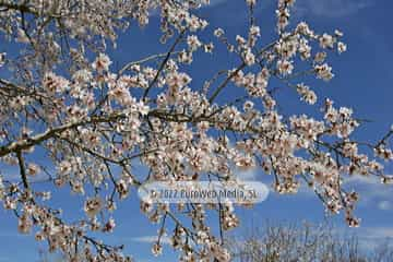 Almendro «Prunus dulcis»