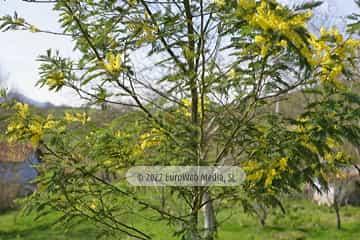 Mimosa (Acacia baileyana). Mimosa