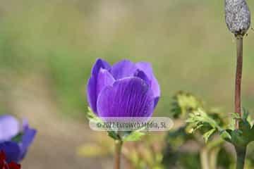 Amapola «Papaver rhoeas»