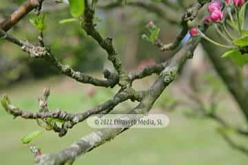 Manzanos (Malus Commnis). Manzanos