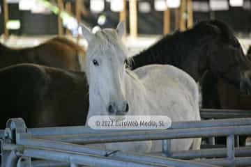 Feria de Ganado Equino